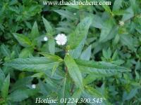 Mua bán cây cỏ mực ( cây nhọ nồi ) tại nhà bè giúp hỗ trợ điều trị gan nhiễm mỡ tốt nhất