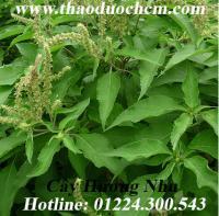 Mua bán hương nhu tại Cao Bằng có tác dụng điều trị nấm đầu hiệu quả