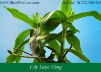 Mua bán cây lược vàng tại huyện Từ Liêm giúp điều trị vết côn trùng cắn