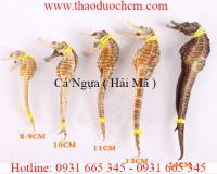 Mua bán cá ngựa (hải mã) tại huyện Từ Liêm giúp điều trị đau lưng uy tín nhất