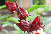Địa điểm bán cây bụp giấm giúp lợi tiêu hóa, nhuận tràng uy tín chất lượng