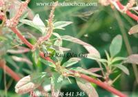 Mua bán cây dền gai tại Sơn La có tác dụng điều trị mẩn ngứa tốt nhất