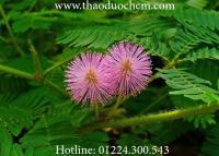 Mua bán cây xấu hổ ( mắc cỡ ) tại cần giờ chữa viêm dạ dày mãn tính