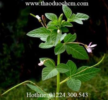 Mua bán sỉ và lẻ cây mần ri tại bình chánh điều trị viêm xoang