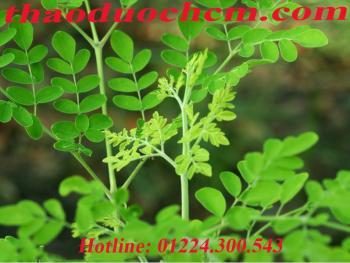 Mua bán cây chùm ngây tại Ninh Bình hỗ trợ phòng ngừa loãng xương
