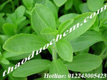 Mua bán cây cỏ ngọt sỉ và lẻ  tại quận 4 chữa bệnh tiều đường