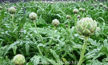 Mua bán hoa atiso tại quận 7 giúp tăng lực kháng khuẩn tốt nhất