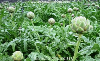 Mua bán hoa atiso tại cần giờ giúp thông mật lợi tiểu