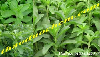 Mua bán cây cỏ ngọt tại bình thạnh tốt cho người mắc bệnh tiểu đường