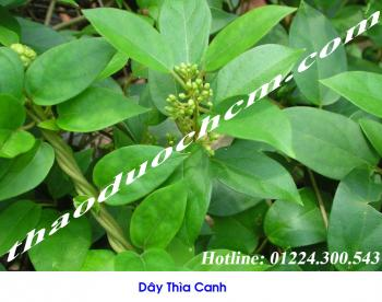 Mua bán dây thìa canh tại Quảng Ninh giúp chữa trị suy nhược cơ thể tốt