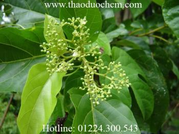 Mua bán cây lá gan tại hóc môn có tác dụng giải độc gan tốt nhất