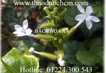 Địa điểm bán bạch hoa xà thiệt thảo điều trị u bướu uy tín chất lượng nhất