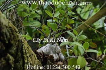 Tác dụng của cây bí kỳ nam trong điều trị lợi tiểu, đau bụng tốt nhất