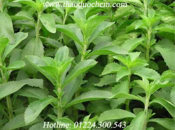 Tác dụng của cây cỏ ngọt có tác dụng điều trị tiểu đường tốt nhất
