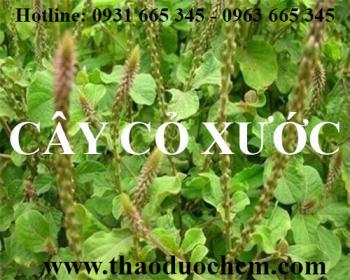 Mua bán cây cỏ xước tại quận Hà Đông giúp điều trị viêm mũi dị ứng