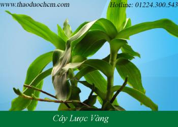 Mua bán cây lược vàng tại cần giờ giúp điều trị côn trùng cắn mẩn ngứa