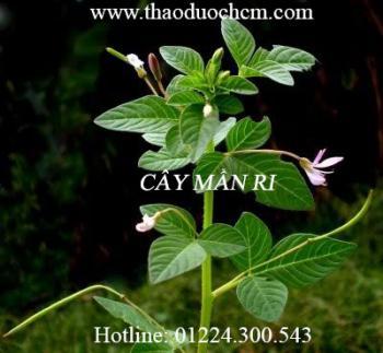 Mua bán cây mần ri tại Tiền Giang có tác dụng trị tiêu độc tốt nhất
