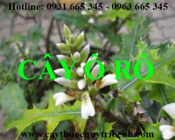 Mua bán cây ô rô tại Thái Bình rất tốt trong việc điều trị phù thận