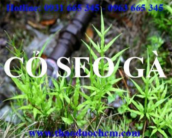 Mua bán cỏ seo gà tại Quảng Ngãi rất tốt trong việc cầm máu giảm đau