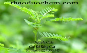Mua bán diệp hạ châu tại quận Thanh Xuân rất tốt trong việc điều trị viêm gan
