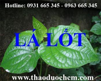 Mua bán lá lốt tại huyện Thạch Thất có tác dụng điều trị viêm tinh hoàn