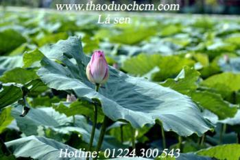 Mua bán lá sen khô tại Thanh Hóa giúp điều trị cao huyết áp hiệu quả