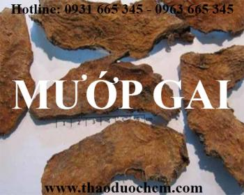 Mua bán cây mướp gai tại huyện Quốc Oai rất tốt trong việc điều trị bệnh trĩ