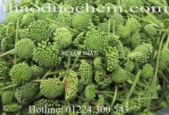 Mua bán hoa tam thất tại Tuyên Quang hỗ trợ thanh nhiệt cơ thể tốt nhất