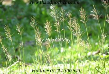 Mua cỏ may ở quận 11 giúp chữa giun tốt nhất