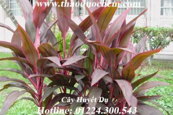 Mua bán cây huyết dụ tại Ninh Thuận rất tốt trong việc dị ứng ngoài da