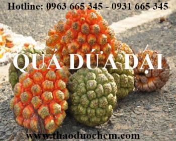 Mua bán quả dứa dại tại huyện quốc oai rất tốt trong việc giải nhiệt cơ thể