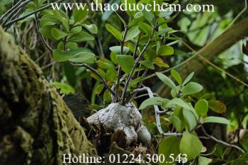 Mua bán cây bí kỳ nam tại quận Thanh Xuân rất tốt trong việc điều trị viêm gan