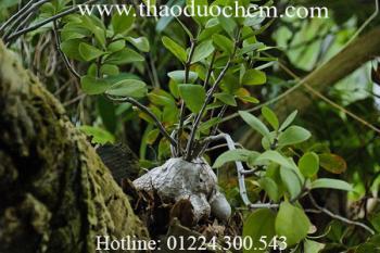 Mua bán cây bí kì nam tại hóc môn điều trị bong gân thấp khớp hiệu quả