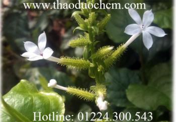 Mua bán bạch hoa xà thiệt thảo tại quận 8 Trị ho do viêm phổi tốt nhất