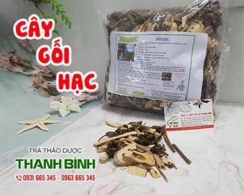 Mua bán cây gối hạc ở huyện Hóc Môn giúp giảm đau bụng kinh ở nữ rất tốt