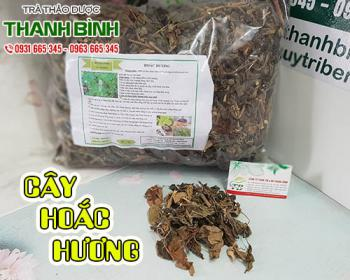 Mua bán cây hoắc hương tại quận 9 có tác dụng điều trị hôi miệng, viêm da