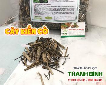 Mua bán cây kiến cò ở quận Tân Bình giúp điều trị nhức mỏi cho người già