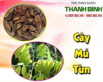 Mua bán cây mú từn tại huyện Thường Tín giúp màu lành vết thương, giảm đau