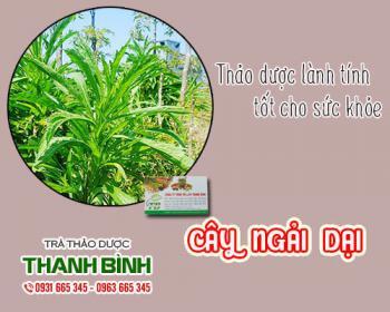 Mua bán cây ngải dại ở huyện Bình Chánh giúp điều trị da bị sưng đỏ rát