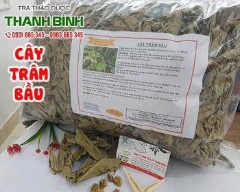 Mua bán cây trâm bầu tại huyện Mê Linh giúp tăng bài tiết nước tiểu