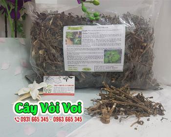 Mua bán cây vòi voi ở huyện Hóc Môn giúp điều trị viêm xoang, viêm amidan