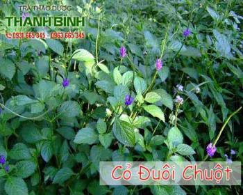 Mua bán cỏ đuôi chuột ở quận Tân Bình giảm ho khan, ho khó thở, long đờm