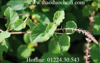 Mua bán cây cỏ xước tại quận Thanh Xuân rất tốt trong việc điều trị vàng da