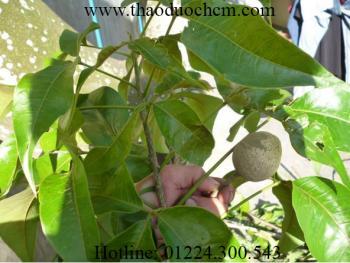 Mua bán cây cần sen tại cần giờ điều trị đau bao tử hiệu quả