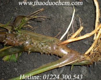 Công dụng chữa bệnh của cây móp gai | cây mướp gai chữa bệnh rất tốt