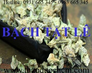 Mua bán bạch tật lê tại Quảng Ninh có công dụng trị đau lưng rất hiệu quả