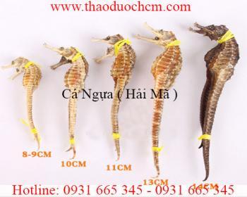 Mua bán cá ngựa (hải mã) uy tín tại Quảng Trị có tác dụng chữa hen suyễn