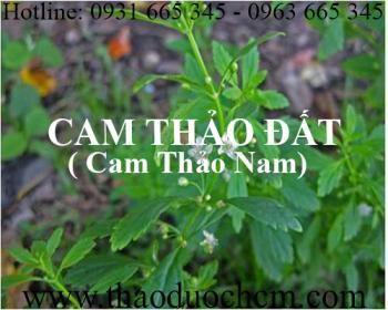 Mua bán cam thảo đất tại Thái Bình giúp điều hòa đường huyết tốt nhất