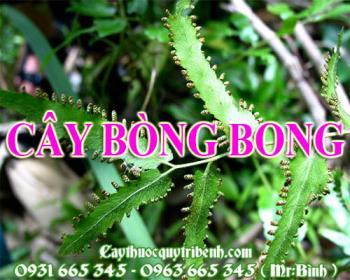 Mua bán cây bòng bong tại Cần Thơ chữa chứng đau tai rất hiệu quả nhất