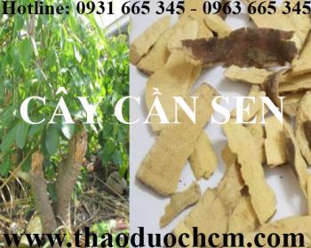 Mua bán cây cần sen tại quận Hà Đông giúp điều trị nọc độc rắn hiệu quả